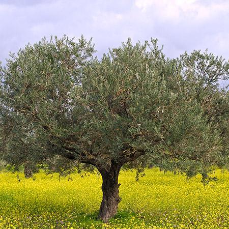 Koroneiki Greek Olive Tree Tre20318
